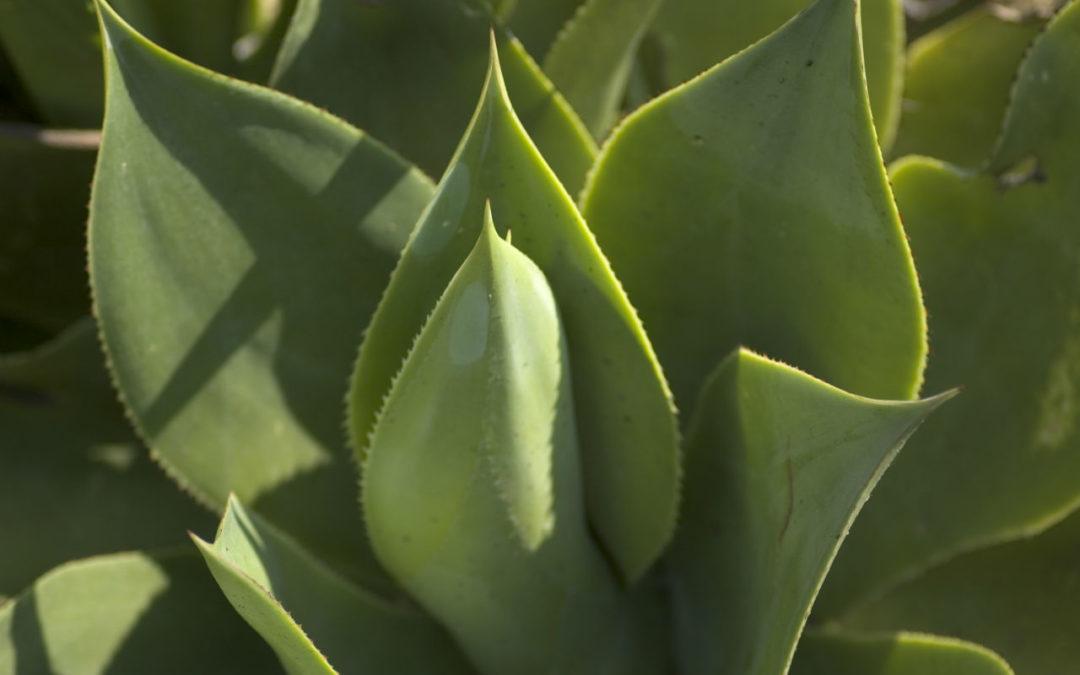 Jus d'Aloe vera : bienfaits et recettes